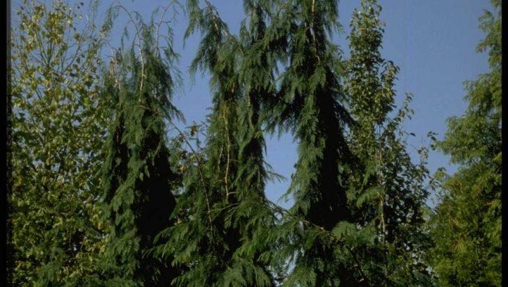 Chamaecyparis lawsoniana 'Dik's Weeping'