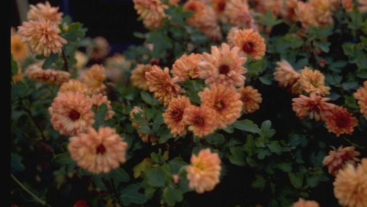 Dendranthema 'Herbstbrokat'