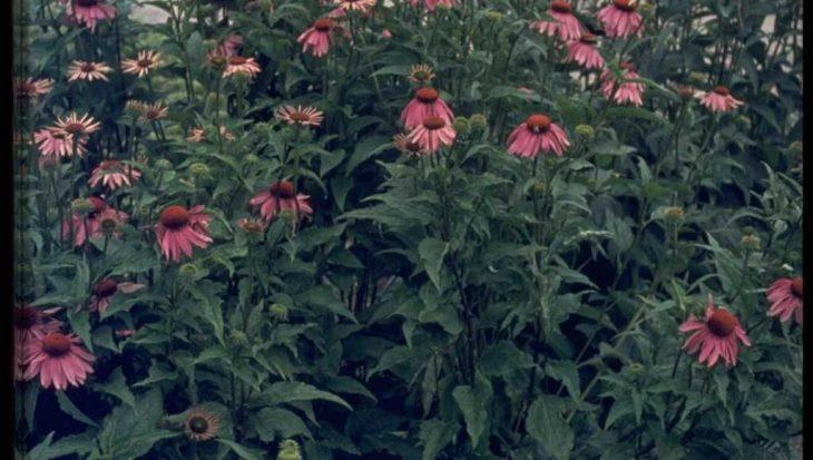 Echinacea purpurea 'Leuchtstern'