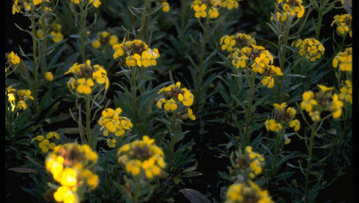 Erysimum 'Yellow Bird'