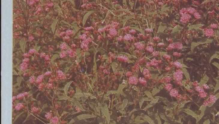 Eupatorium maculatum