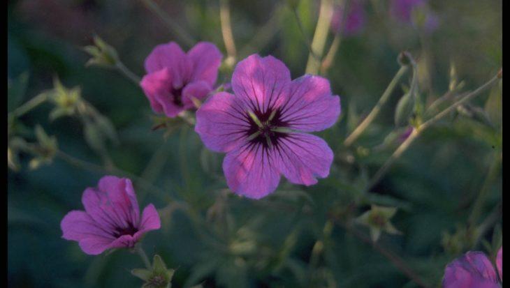 Geranium psilostemon 'Ivan'