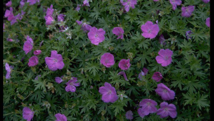 Geranium sanguineum 'Nanum'