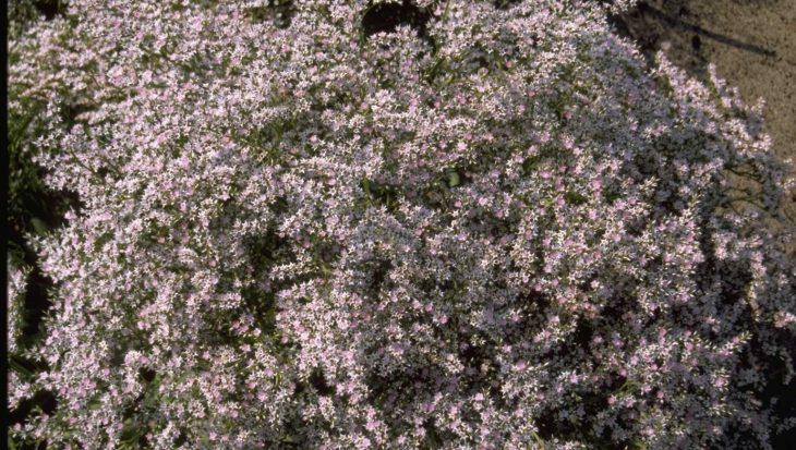 Goniolimon tataricum var. angustifolium