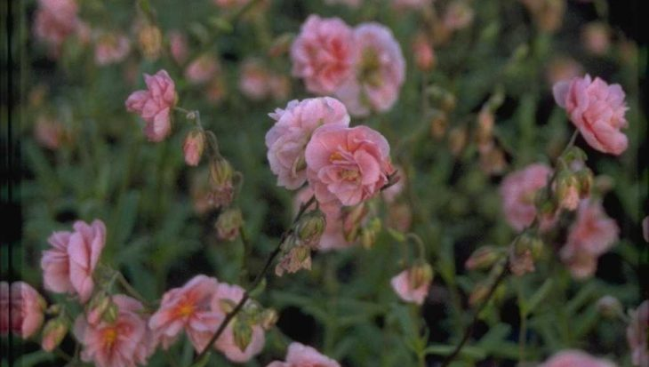 Helianthemum 'Rose of Leeswood'
