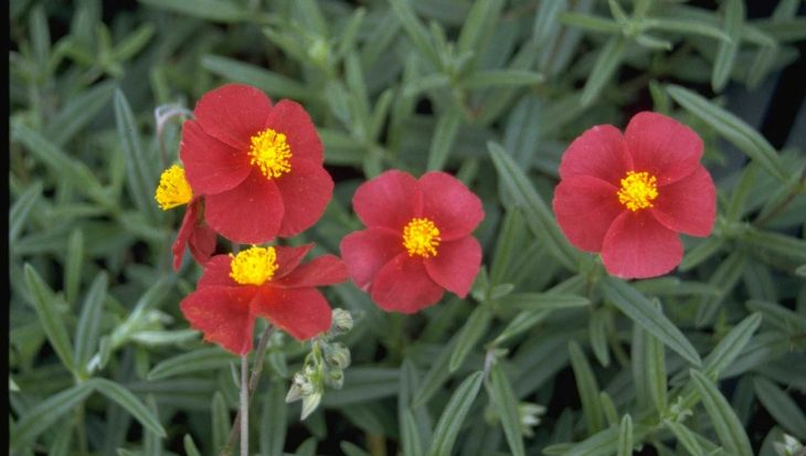 Helianthemum 'Supreme'