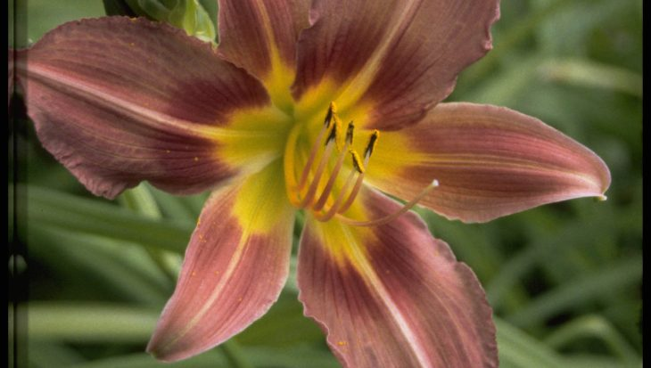 Hemerocallis 'Purple Waters'