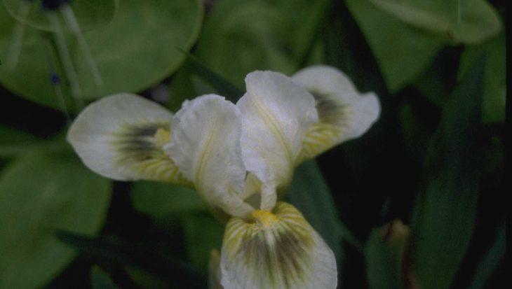 Iris 'Greenspot'