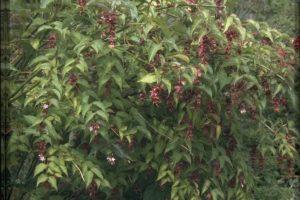 Leycesteria formosa fazantenbes