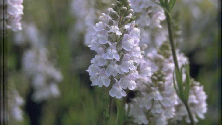Linaria x dominii 'Carnforth'