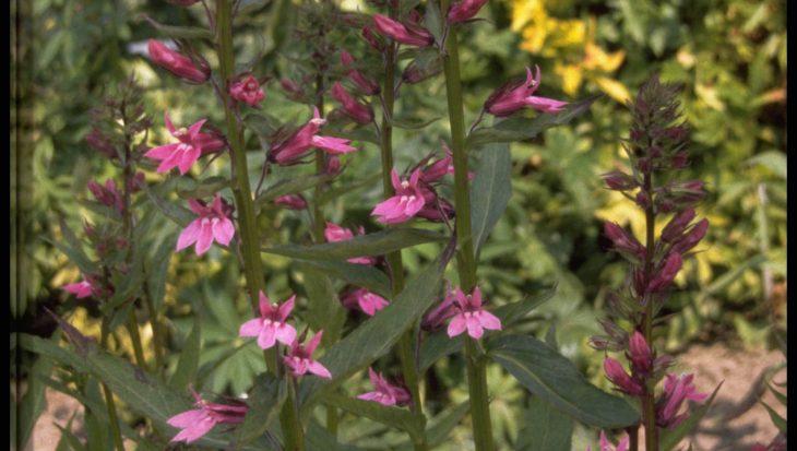 Lobelia x gerardii 'Rosenkavalier'