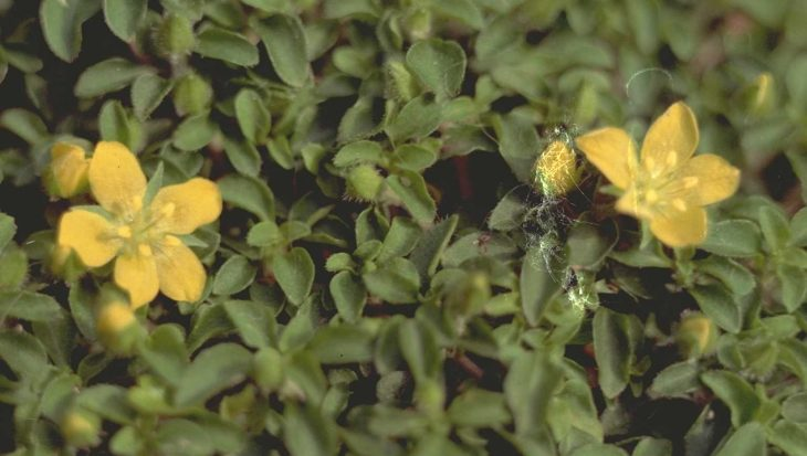 Lysimachia japonica var. minutissima