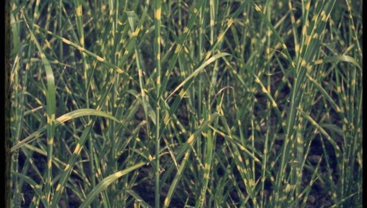 Miscanthus sinensis 'Zebrinus'