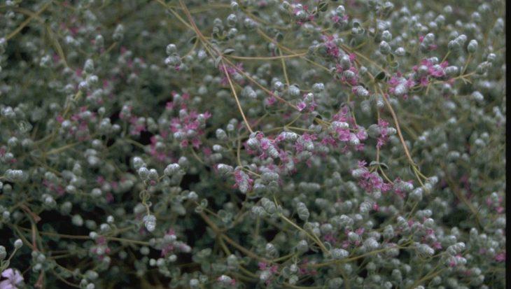 Origanum microphyllum