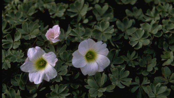 Oxalis adenophylla 'Minima'