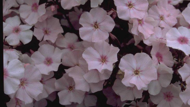 Phlox 'Rosa Pastell'