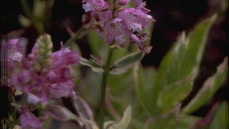 Physostegia virginiana 'Variegata'