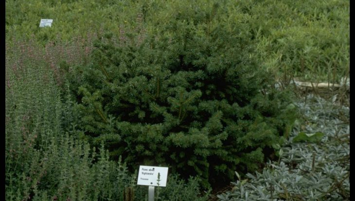 Picea abies 'Highlandia'