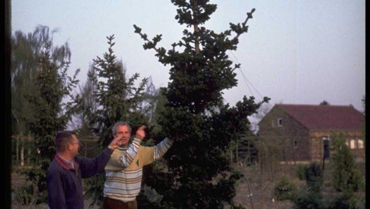 Picea abies 'Lombartsii'