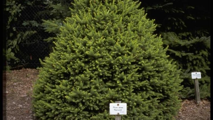 Picea abies 'Remontii'