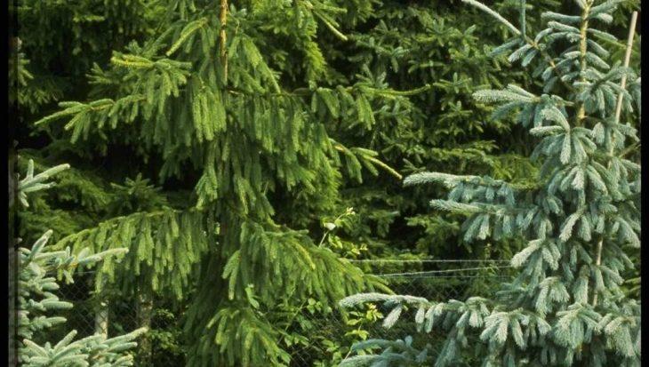 Picea abies 'Viminalis'