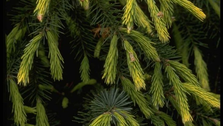 Picea breweriana 'Fr?hlingsgold'