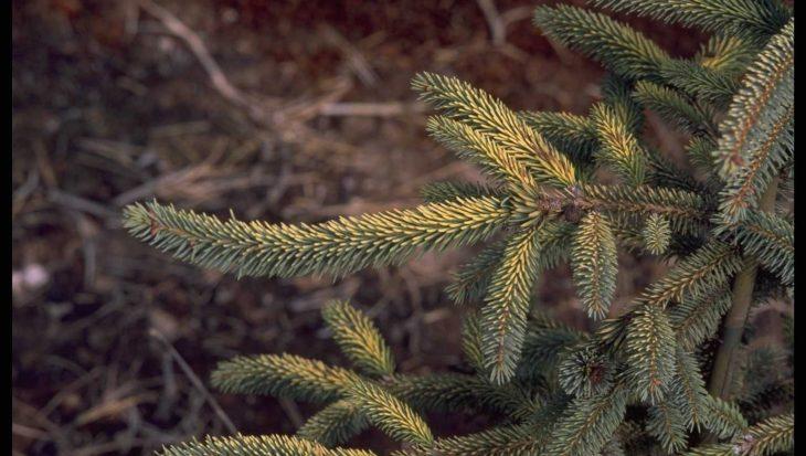 Picea jezoensis 'Aurea'