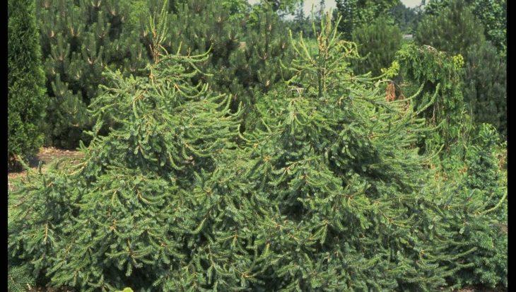 Picea omorika 'Freya'