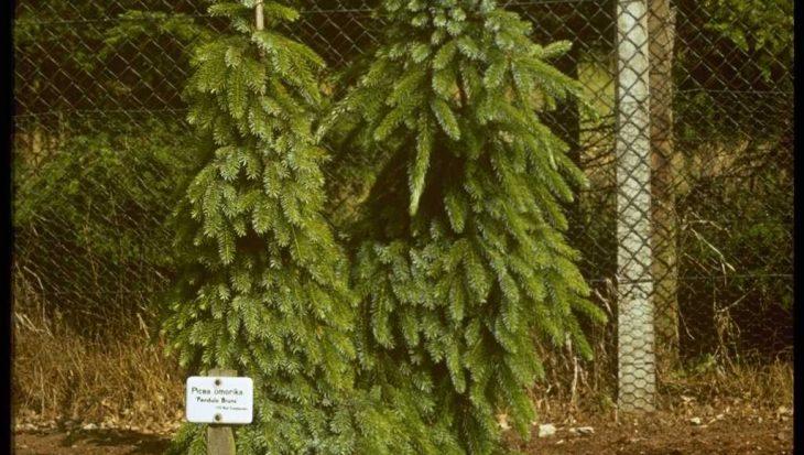Picea omorika 'Linda'