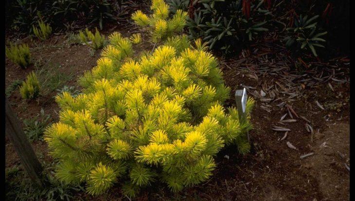 Pinus contorta 'Frisian Gold'
