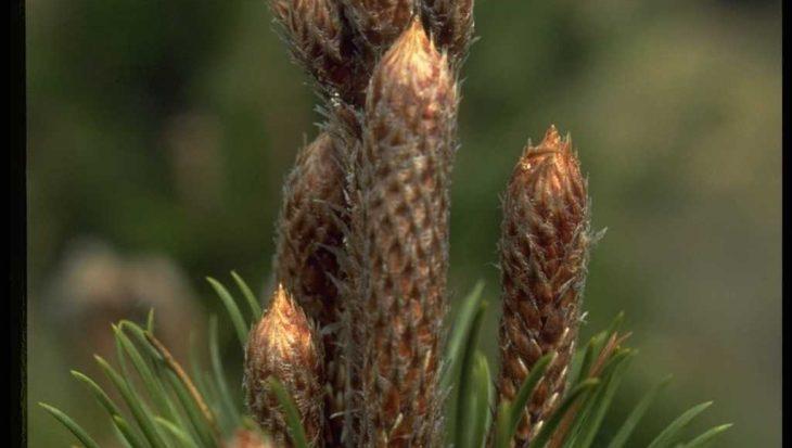 Pinus leucodermis 'Boemer'