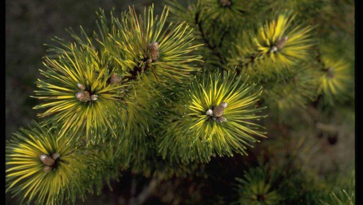 Pinus mugo 'Kokarde'