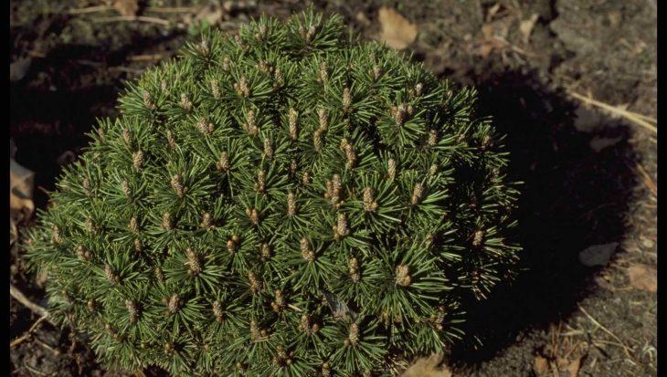 Pinus mugo 'Minimops'