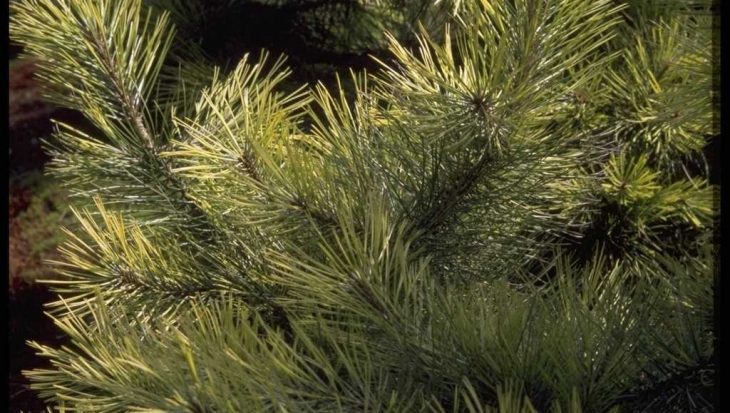 Pinus nigra 'Aurea'