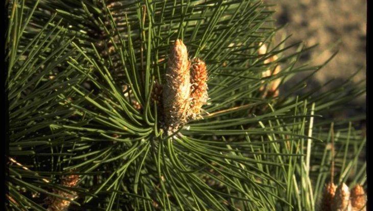 Pinus nigra 'Buda'