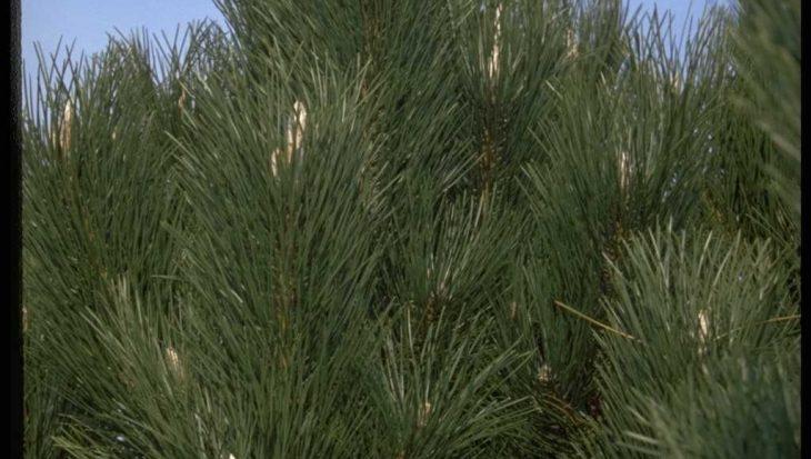 Pinus nigra 'G?ant de Suisse'