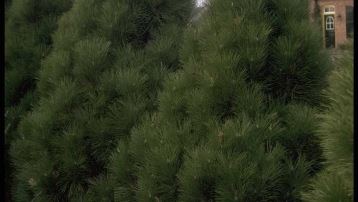 Pinus nigra 'Pyramidalis'