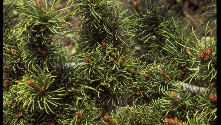 Pinus parviflora 'Fukusumi'