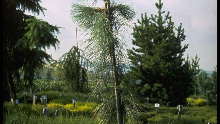 Pinus ponderosa 'Pendula'