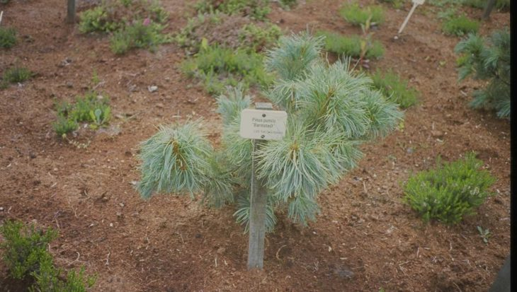 Pinus pumila 'Barmstedt'