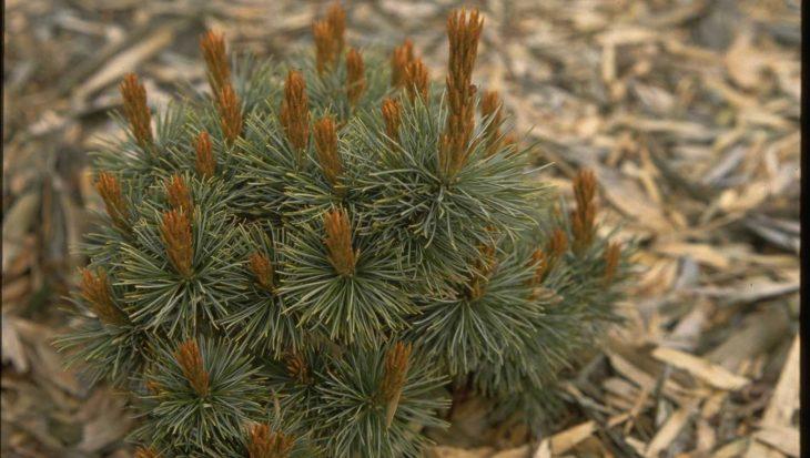 Pinus pumila 'Globe'