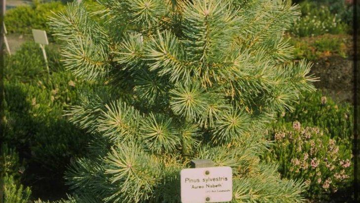 Pinus sylvestris 'Aurea Nisbeth'