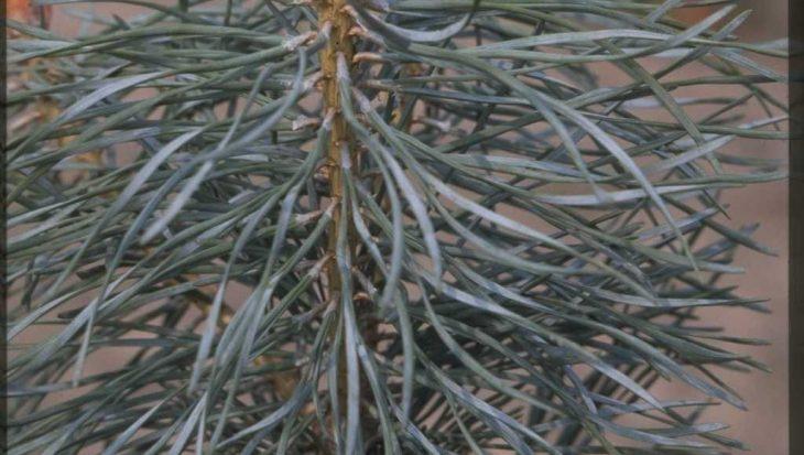 Pinus sylvestris 'Jade'