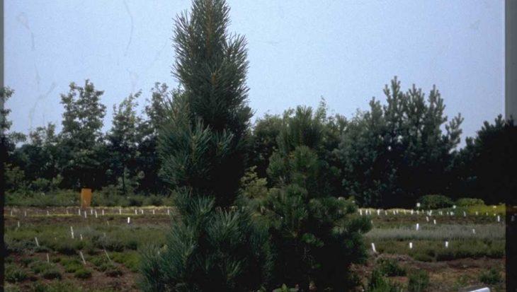 Pinus sylvestris 'Draht'