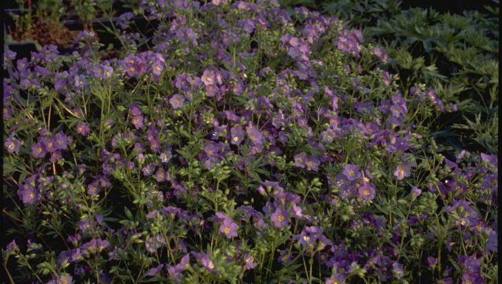 Polemonium caeruleum 'Lambrook Mauve'
