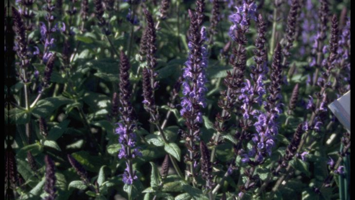 Salvia x sylvestris 'Blauk?nigin'