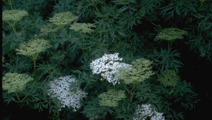 Sambucus nigra 'Laciniata'