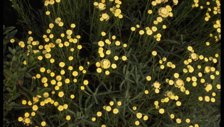 Santolina chamaecyparissus var. nana