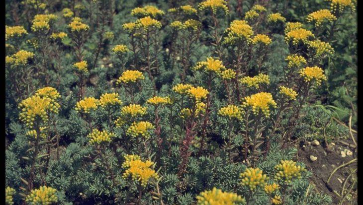 Sedum forsterianum subsp. elegans