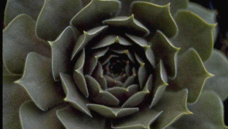 Sempervivum marmoreum 'Brunneifolium'